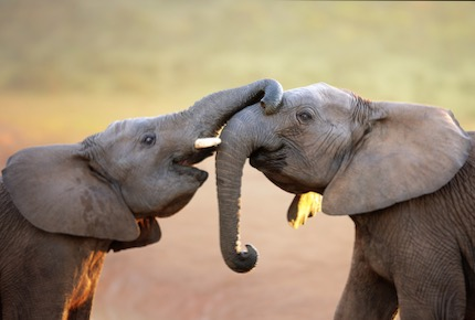 Our Commitment to Wild Elephants